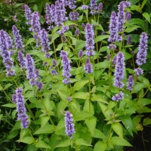 Agastache rugosa 'Blue Fortune' - Duftnessel
