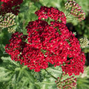 Achillea milefolium 'Red Velvet' - Schafgarbe